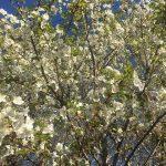 馬込沢、鎌ケ谷の桜
